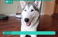 نکات مهم در رابطه با رفتارهای غریزی سگ هاسکی
