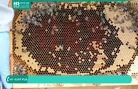 زنبورداری و نحوه تشخیص بیماری در کندو