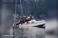 قایق سواری جالب شیرهای دریایی