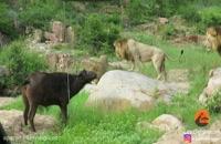 حمله 3 شیر نر برای شکار بوفالو زخمی