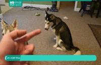 چگونگی تربیت سگ هاسکی برای نشستن