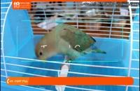 آموزش تربیت طوطی - پنج نکته حیاتی