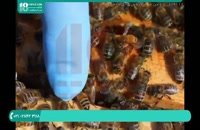پرورش زنبورعسل و نکات کلیدی زنبورداری