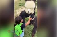 دوستی جالب یک لاما با کودکی خردسال