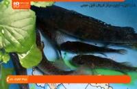 آموزش پرورش ماهی زینتی - درمان بیماری لکه سفید