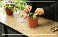 پاپیتال چیست؟ معرفی کامل و نگهداری گیاه هدرا یا پاپیتال