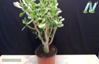 پرورش و تکثیر گیاه کراسولا (گیاه یشم)