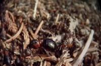 مستند امپراتوری مورچهها Empire of the Ants