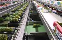 چگونه آناناس توسط یک ماشین و افراد در کارخانه ای در کاستاریکا پردازش می شود