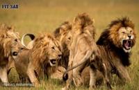 آیا قدرت شیرها از ببرها بیشتر است