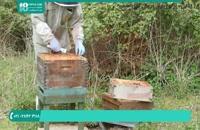 آموزش زنبورداری - کلونی سلول ساز