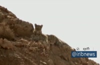رویت دو قلاده پلنگ ایرانی در توران شاهرود