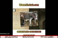 شیر الاغ کیم کالا | 09120750932 | بهترین درمان بیماری های ریوی | درمان بی خوابی| داروی سیاه سرفه | درمان سرفه خشک