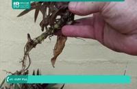 نحوه مراقبت و رشد گیاه مقاوم زیپلین 28423118-021