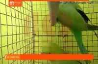 فیلم آموزش تربیت طوطی | اهلی کردن طوطی ( تشخیص جنسیت طوطی سبز )