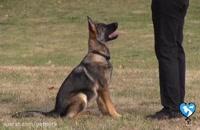 نحوه آموزش به سگ ژرمن شپرد