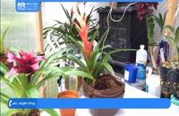 آموزش روش صحیح کوددهی به گیاه آناناسی