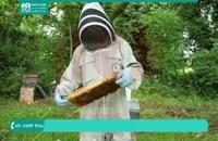 پرورش ملکه زنبور اصل اصلاح نژاد شده