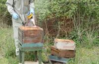 آموزش زنبورداری پرورش ملکه زنبور عسل