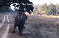 حمله ی ببر به فیل