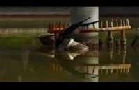 این کلاغ باهوش ایرانی، ماهی شکار میکند!