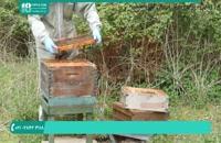 آموزش زنبورداری برپایی کندو زنبور عسل برای پرورش ملکه جدید