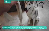 آموزش نکات مهم برای تعلیم و تربیت سگ هاسکی