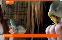 آموزش تربیت طوطی- نکته حیاتی پارت 2