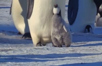 مستند جوجه برفی داستان یک پنگوئن