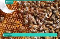 آموزش زنبورداری و شناخت ملکه زنبور عسل-قسمت 1