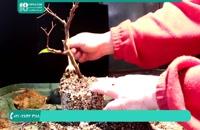 پرورش و نگهداری از گیاه بونسای آپارتمانی