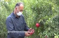 غنی ترین بانک ژن انار دنیا در مازندران