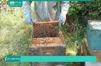تولید عسل در زنبورداری نوین