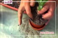 چگونه گیاه آپارتمانی یوکا را تکثیر کنیم؟ - ویدیو کامل