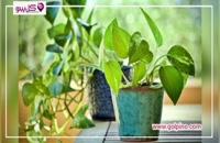 پتوس : مقاوم ترین گیاه آپارتمانی