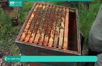 زنبورداری و مراحل پرورش زنبورعسل بطور کام