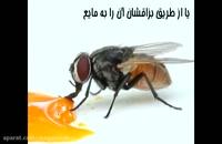 آیا انواع مگس های خطرناکی که در خانه هست را می شناسید؟