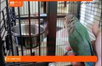 فیلم آموزش تربیت طوطی | اهلی کردن طوطی ( چگونه طوطی مان را به قفس جدید منتقل کنیم )