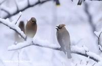 پرندگان زیبا در هوای برفی