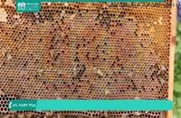 روش صحیح پرورش زنبور عسل به صورت حرفه ای