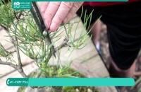 پرورش گیاه آپارتمانی | تعویض گلدان درختچه کاج