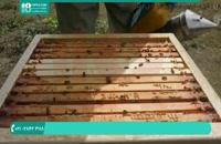 به دست آوردن ژل رویال در زنبورداری نوین