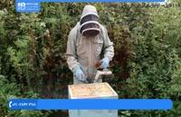 آموزش زنبور داری - ملکه ی جدید کندو