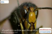 زنبور وحشی چطور زنبور عسل را شکار می کند؟ - سم 100% تضمینی برای کشتن زنبور