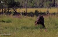 مستند جذاب حمله خرس