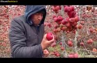 یخ زدگی در باغ سیب
