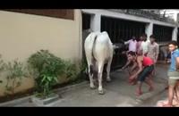 لگد زدن حیوان