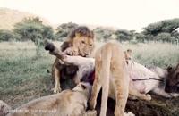زندگی جالب با شیرها