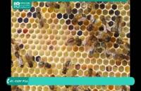 تکانی ها در پرورش زنبور عسل